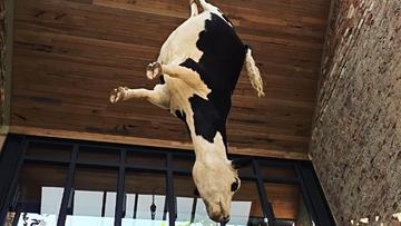Nad głowami klientów restauracji... zawisła krowa. Petycja w sprawie kontrowersyjnej instalacji