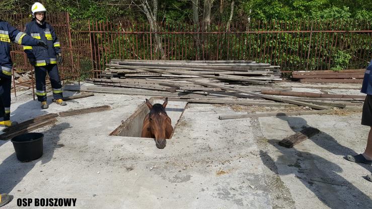 Koń wpadł do kanału i nie mógł się wydostać. Strażacy musieli użyć dźwigu